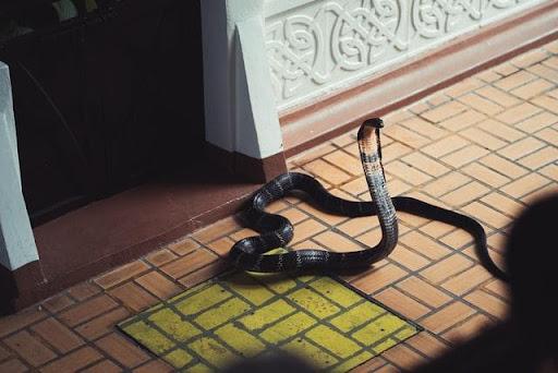 Chiêm bao thấy rắn là lành hay dữ