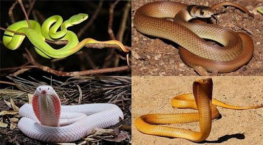 Mơ thấy con rắn vàng